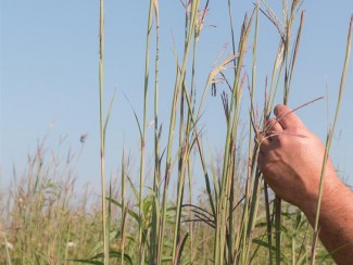 Randy Jackson examines some big blue stem, a prairie grass that GLBRC scientists are studying for its bioenergy potential.